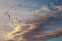 Cranes in flight-clouds-by-Andrew-Willoughby